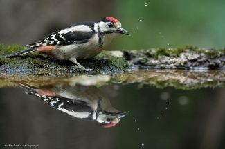 Great-spotted woodpecker / © Mark Walker, Forest photo hide