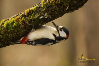Great spotted woodpecker photography, © Sergey Panayotov, Forest photo hide 2