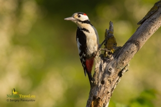 Great spotted woodpecker photography, © Sergey Panayotov, Photo Tower hide