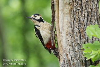 Great-spotted woodpecker, Forest photo hide