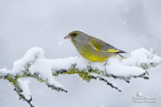 Green Finch photography, Feeding station in the cottage backyard