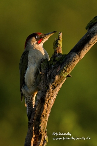 Green woodpecker, © Brigitte Handy / www.handybirds.de, Photo Tower hide