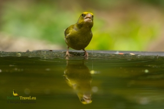 Green finch photography, © Sergey Panayotov, Forest photo hide 2