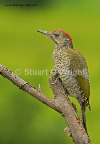 Green woodpecker / © Stuart Wright, Photo Tower hide