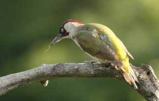 Green Woodpecker Hide photography