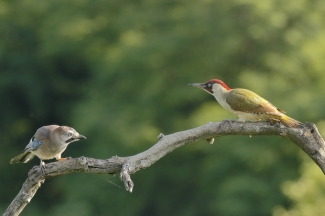 Green woodpecker  / © Sabine Schroll, Photo Tower hide