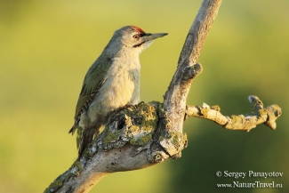 Grey-headed Woodpecker, Photo Tower hide