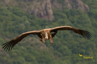 Griffon vulture photography (c) Sergey Panayotov, Vulture hide - Eastern rodopi mountain