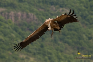 Griffon vulture photographyEgyptian vulture photography (c) Sergey Panayotov, Vulture hide - Eastern rodopi mountain