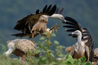 Griffon vultures © Frank Schulkes, Vulture hide - Eastern rodopi mountain