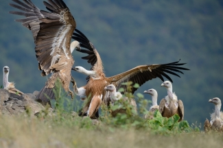 Griffon Vulture Hide photography
