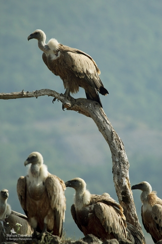 Griffon vulture photography, Vulture hide - Eastern rodopi mountain