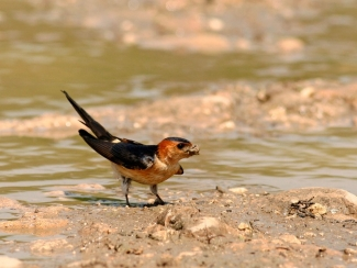 Red-rumped Swallow, Mobile hides