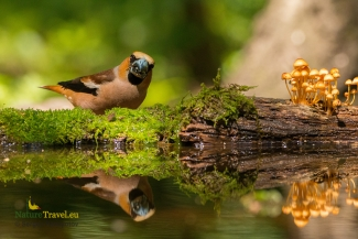 Hawfinch photography, © Sergey Panayotov, Forest photo hide 2