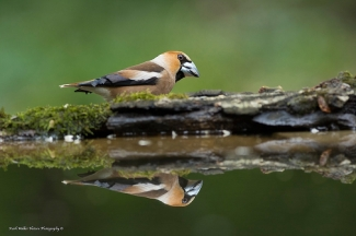 © Mark Walker / England, Hawfinch / © Mark Walker