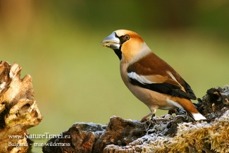 Hawfinch photography in Bulgaria, Author: Iordan Hristov © 2012, Feeding station in the cottage backyard