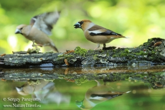 Hawfinch photography, Forest photo hide