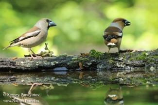 Hawfinch, Hawfinch photography