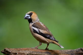 Hawfinch photography © Frank Schulkes, Forest photo hide
