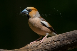 Hawfinch Hide photography