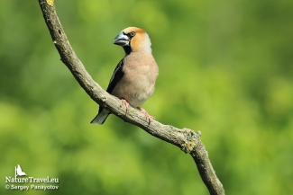 Hawfinch photography in Bulgaria, Photo Tower hide