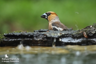 Hawfinch photography in Bulgaria, Forest photo hide