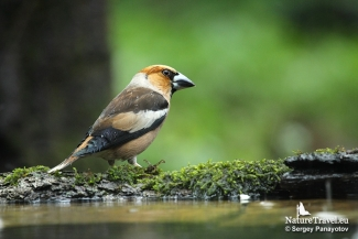 Hawfinch, Hawfinch photography in Bulgaria