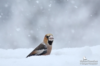Hawfinch photography in Bulgaria, Feeding station in the cottage backyard