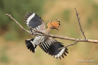 Hoopoe photography - (c) Iordan Hristov, Mobile hides