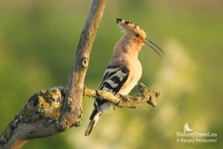 Hoopoe from tower hide, © Sergey Panayotov, Photo Tower hide