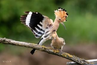 Hoopoe photography (© Nicky Stoyanov)