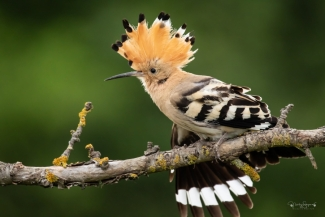 Hoopoe photography (© Nicky Stoyanov), Bee-eater and Hoopoe hide