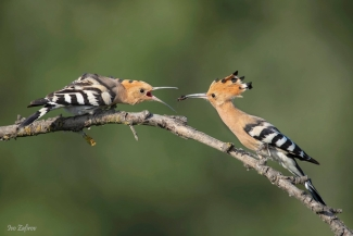 Hoopoe photography (© Ivo Zafirov)