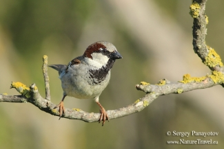 House Sparrow photography, Photo Tower hide