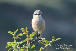 Red-backed Shrike photography, Roller hide