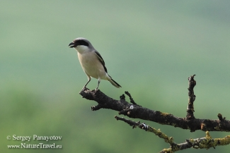 Shrikes & Buntings,