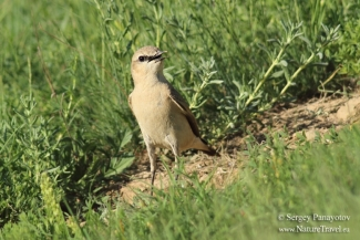 Other Birds, Isabelline Wheatear