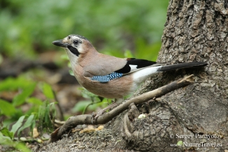 Jay, Forest photo hide