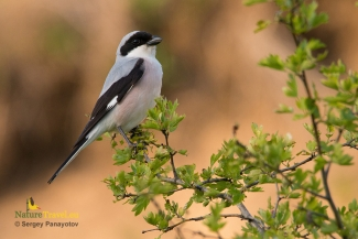 Shrikes & Buntings, Lesser-grey Shrike photography (c) Sergey Panayotov