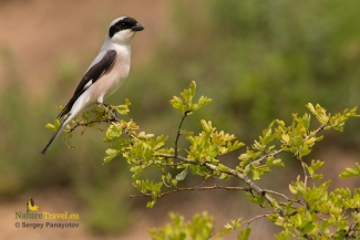 Lesser Grey Shrike Hide photography