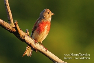 Linnet photography in Bulgaria, © Iordan Hristov, Photo Tower hide