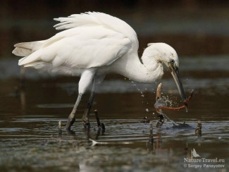 Little egret photography, Water bird photography hide - Poda lagoon