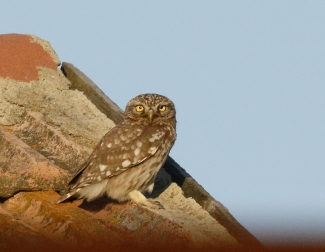 Little Owl Hide photography