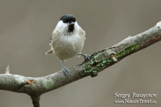 Marsh Tit photography, Author: Sergey Panayotov © 2012, Forest photo hide