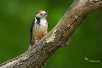 Middle-spotted woodpecker photography, © Sergey Panayotov, Forest photo hide 2