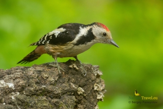 Middle-spotted woodpecker photography, © Sergey Panayotov