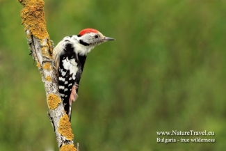 Middle spotted Woodpecker photography, © Iordan Hristov, Photo Tower hide