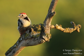 Middle-spotted woodpecker, Photo Tower hide