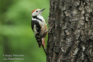 Middle-spotted woodpecker, Forest photo hide