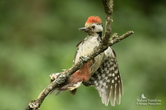 Middle-spotted woodpecker photography, Forest photo hide
